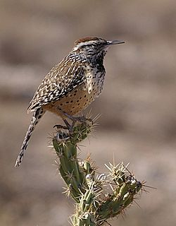 Cactus wren Desert adapted bird found in the southwest of the United States and in northern Mexico.