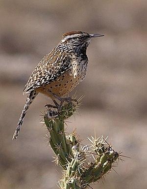 Cactus wren - Image: Campylorhynchus brunneicapillus 20061226