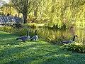 Canada Geese (50500389921).jpg