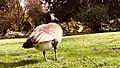 Canada Goose in Stanley Park Rose Gardens.jpg