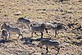 Cape Mountain Zebras (Equus zebra zebra) quarrelling ... (32431312441).jpg