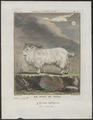 Capra aegagrus var. reversa - 1700-1880 - Print - Iconographia Zoologica - Special Collections University of Amsterdam - UBA01 IZ21300217.tif