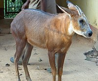 Capricornis rubidus.jpg