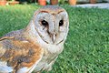 Captive Eastern Barn Owl, Assam.jpg