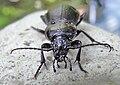 Carabus nemoralis female front.jpg