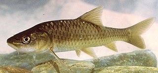 <i>Carasobarbus</i> genus of fishes