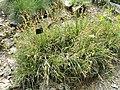 Carex ferruginea - Botanischer Garten Freiburg - DSC06445.jpg