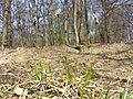 Carex montana sl23.jpg