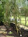 Carmichaelia australis - Palmengarten Frankfurt - DSC01914.JPG
