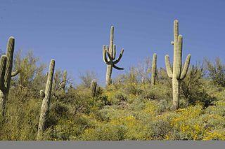 Saguarokaktusar i Sonoraöknen på gränsen mellan USA och Mexiko.