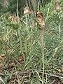 Carthamus carduncellus.jpg
