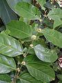 Casearia sylvestris, caiubim (8527428872).jpg