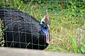 Casoar à casque (Zoo Amiens).JPG
