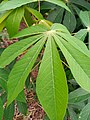 Cassava Leave.jpg