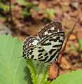 Castalius rosimon - Common Pierrot on the hostplant Ziziphus oenoplia - Jackal Jujube 03.JPG