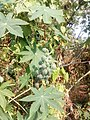 Casterplant 02.jpg