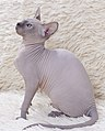 Cat - Sphynx. img 010.jpg
