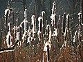 Cattail - panoramio - Wolodymyr Lavrynenko.jpg