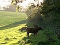 Cattle, Stock Lane - geograph.org.uk - 267547.jpg