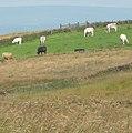 Cattle - panoramio (6).jpg