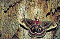 Cecropia moth (Hyalophora cecropia).jpg
