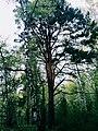 Cedar and birch.jpg
