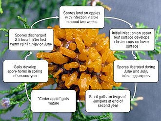 Gymnosporangium juniperi-virginianae - Image: Cedar apple rust cycle for Wikipedia