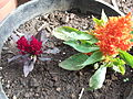Celosia argentea-golden spire-yercaud-salem-India.JPG