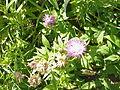 Centaurea pulcherrima1.jpg