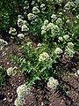 Centranthus ruber forma albus 2007-06-02 (plant).jpg