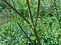 Cephalaria gigantea 2018-07-09 5031.jpg