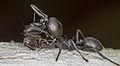 Cephalotes atratus (15050967605).jpg