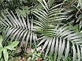 Chamaedorea pinnatifrons - Palmengarten Frankfurt - DSC01773.JPG