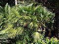 Chamaerops humilis (SRBG).jpg