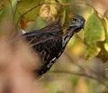 Changeable Hawk Eagle (Spizaetus cirrhatus) in Kawak WS, AP W IMG 2043.jpg