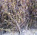 Changnyeong Buxus microphylla side.jpg