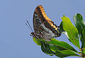 Charaxes jasius - Two-tailed Pasha 02.jpg