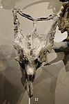 Chasmosaurus belli skull 1 salt lake city.jpg