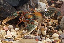Chattooga River Crayfish (14174938652).jpg