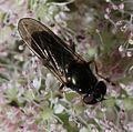 Cheilosia scutellata (Dark-horned Truffle-cheilosia) - female - Flickr - S. Rae (1).jpg