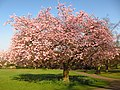 Cherry Tree in Golders Hill Park.jpg
