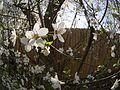 Cherry blossom (13040770383).jpg