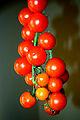 Cherry tomato ചെറിത്തക്കാളി.jpg