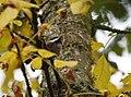 Chestnut-backed Chickadee (45571519152).jpg