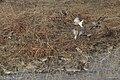 Chestnut-collared Longspur Curly Horse Ranch Rd Sonoita AZ 2018-01-26 09-39-11-3 (26064352678).jpg
