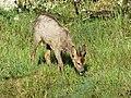 Chevreuil mâle Périgueux (8).jpg