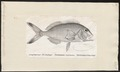 Chilodactylus carponemus - 1700-1880 - Print - Iconographia Zoologica - Special Collections University of Amsterdam - UBA01 IZ13200007.tif