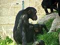Chimpanzee 01.JPG