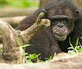 Chimpanzee V (13945324161).jpg