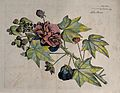 China rose or Shoe flower (Hibiscus rosa-sinensis L.); flowe Wellcome V0042667.jpg